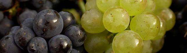 Gamy, Auxerrois et Pinot Noir